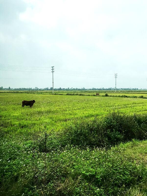 自宅訪問途中に遭遇した牛